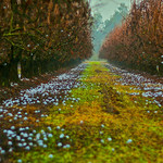 Tulare County - Plum Trees 2008